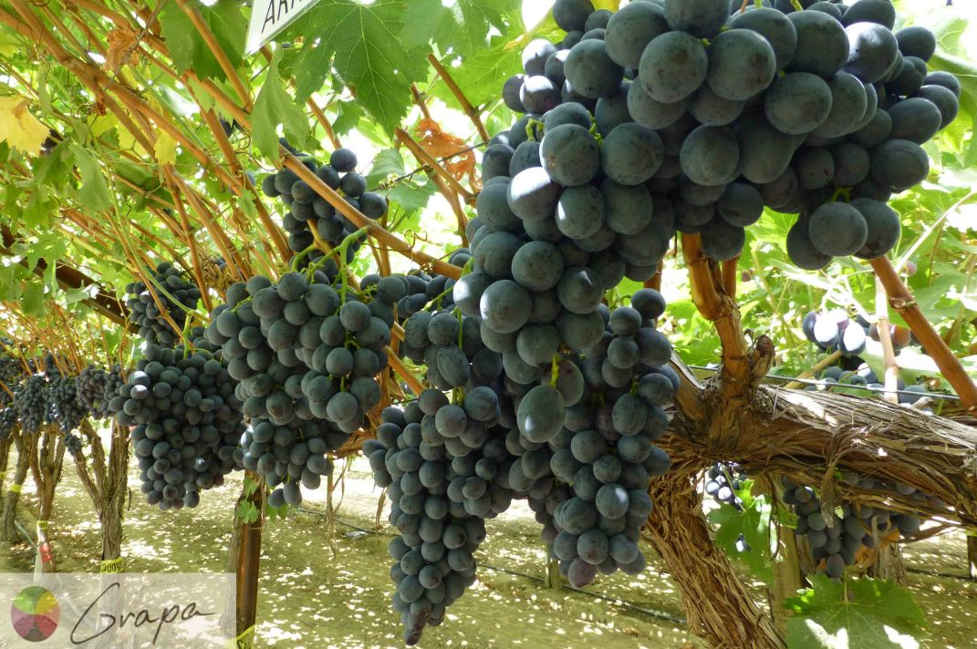 ARRA 18 - Black Seedless | Grapes | Our products | WADI ...